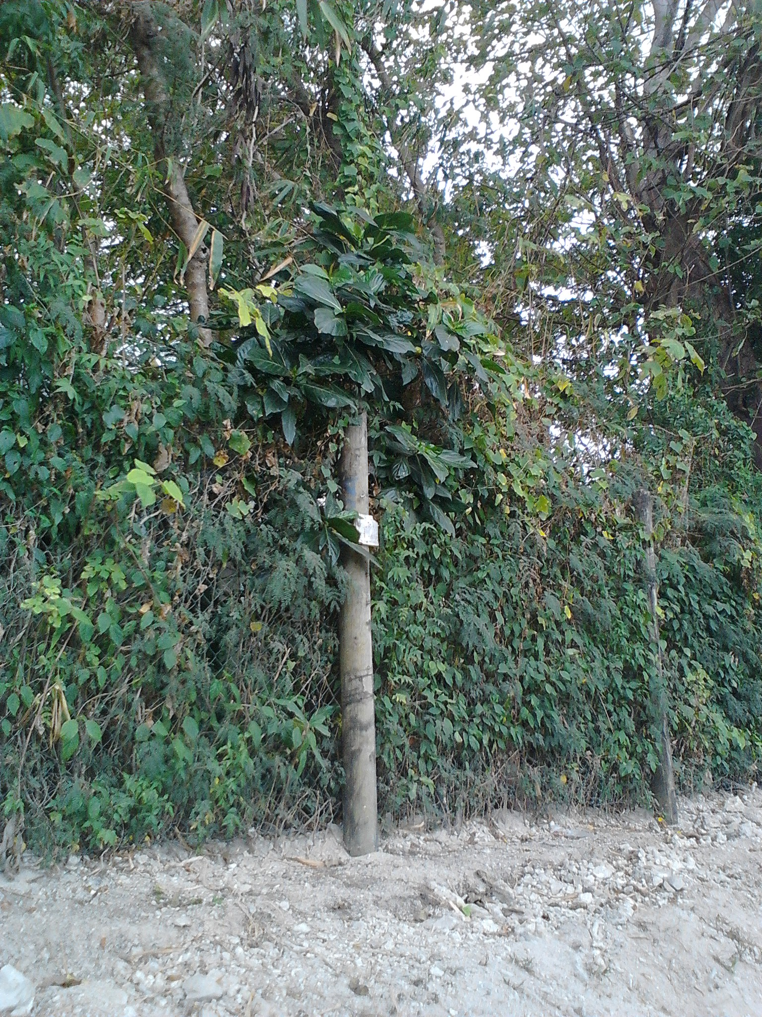 The Noni tree